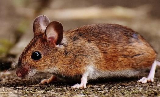 Deratizace Asana Zlín, deratizace, dezinsekce, dezinfekce, fumigace, hubení myší a potkanů