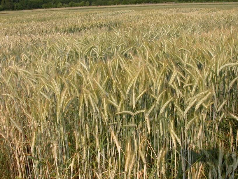Výroba osiva travin a obilovin AGROGEN, spol. s r.o.