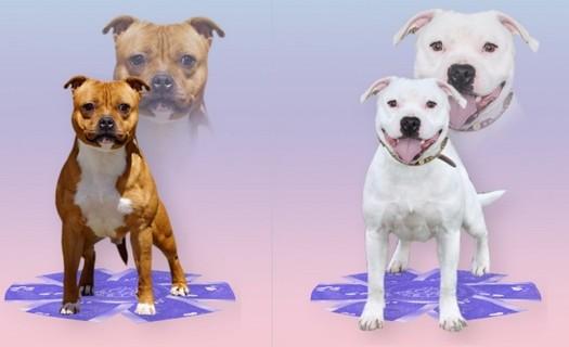 Chovná stanice Staffordshire Bull Terrierů Říčany u Brna, krycí psi
