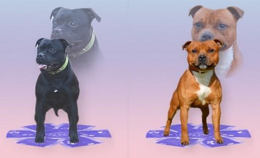 Chovná stanice Staffordshire Bull Terrierů Říčany u Brna, nekonfliktní plemeno