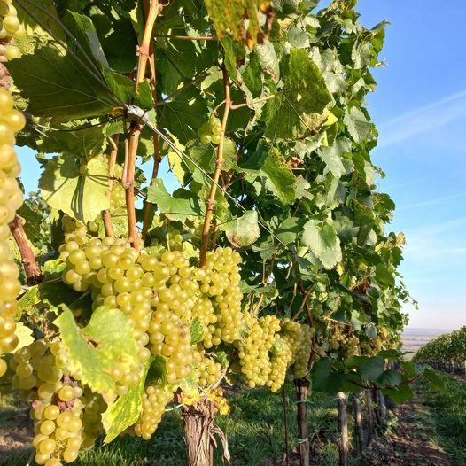 Vinařství na jižní Moravě - Víno Zmeko