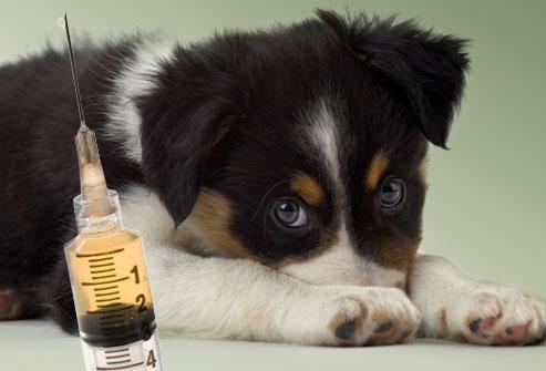 Očkování přeočkování psů na boreliozu Liberec Jablonec.