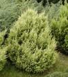 Prodej okrasné dřeviny, trvalky, zahradnictví Bystřice, Třinec