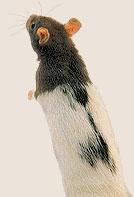 Hubení potkanů, krys, myší, hrabošů, okr. Karlovy Vary.