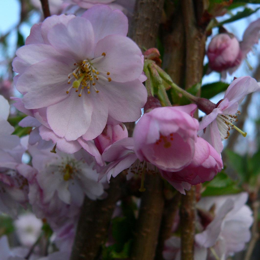 Velkoobchod ovocné stromky stromy keře litomyšl vysoké mýto
