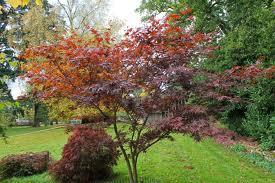 Acer palmatum, okrasné dřeviny - zahradnictví