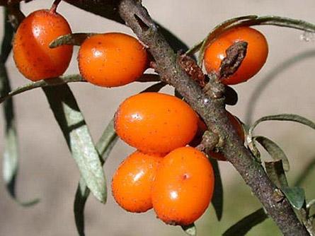 Prodej ovocné keře drobné ovoce rakytník řešetlákový Hippophae rhamnoides Liberec.