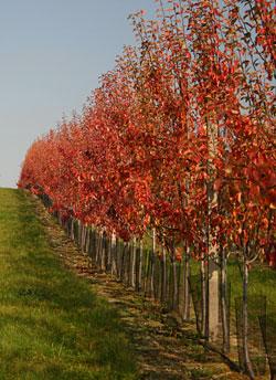 Ovoce, prodej ovoce, jablek, hrušek, švestek, třešní, višní Třebíč