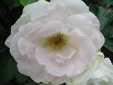 Růže na zahrádku i k plotu