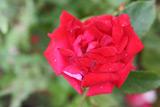 Růže - velký výběr