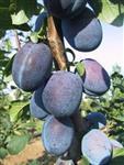 štvestky ovocné stromky na prodej Želešice