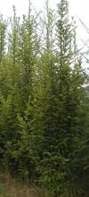 Prodej jehličnaté, listnaté dřeviny