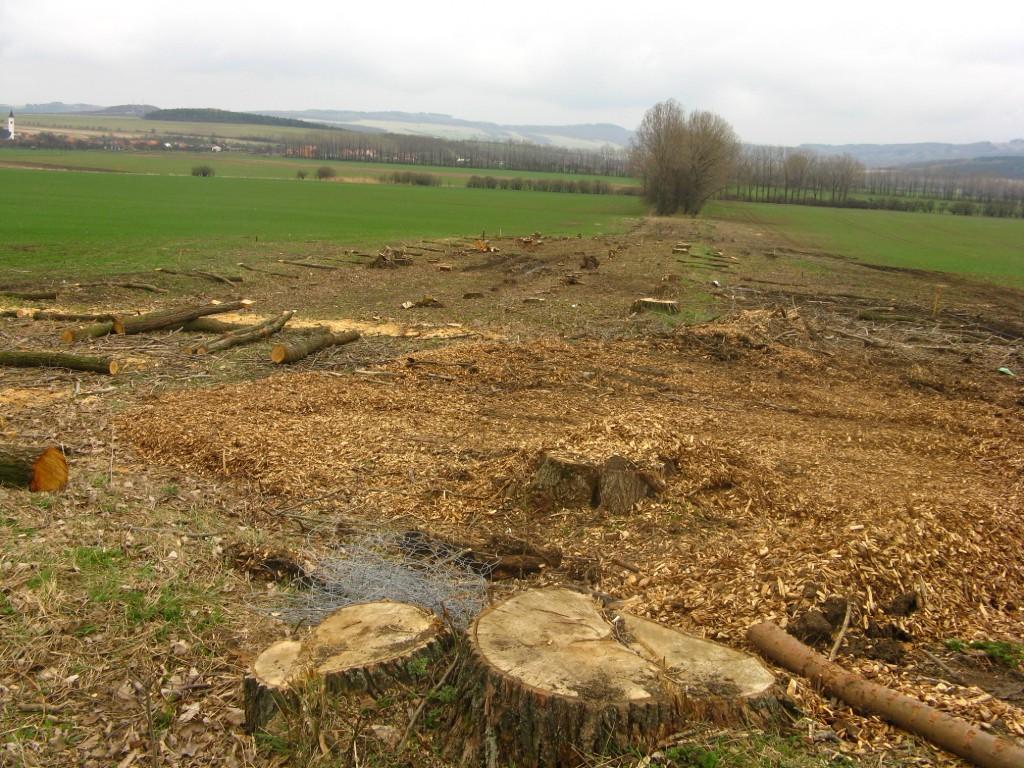Kácení dřevin - větrolamy
