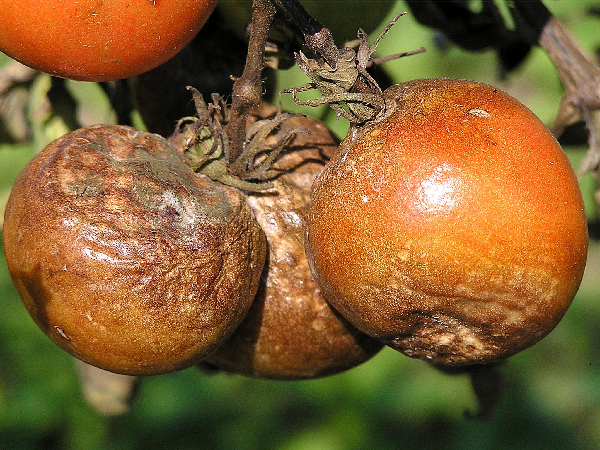 Ochrana rajčat proti plísni bramborové