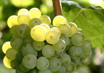 víno z jižní Moravy