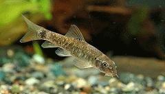 Okusování rybičkami Garra rufa, rybí pedikúra, léčivé rybky, lupenka, relaxace, lázeň, liberec,jablonec,turnov,semily,česká lípa,