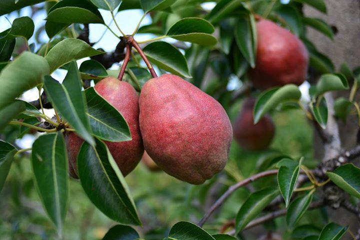Čerstvé ovoce, prodej hrušek Znojemsko