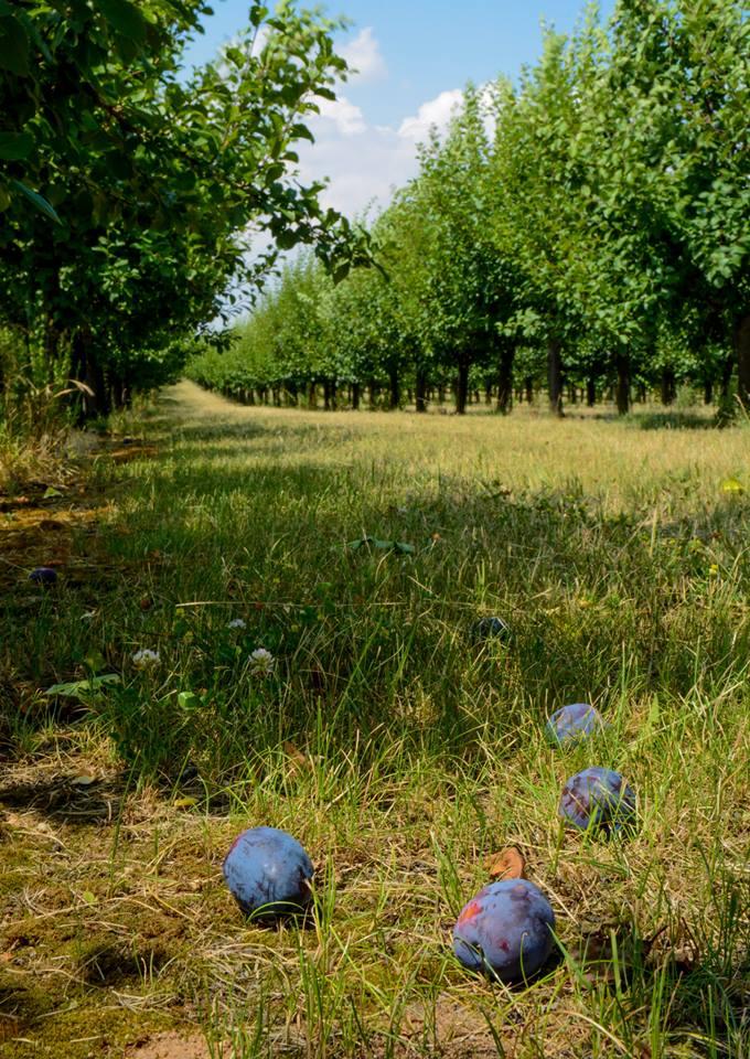 Slivky na kvas, stromy slivky, predaj čerstvého ovocia