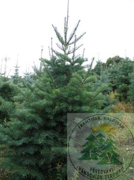 Vánoční stromečky s předstihem i na poslední chvíli - Sušice