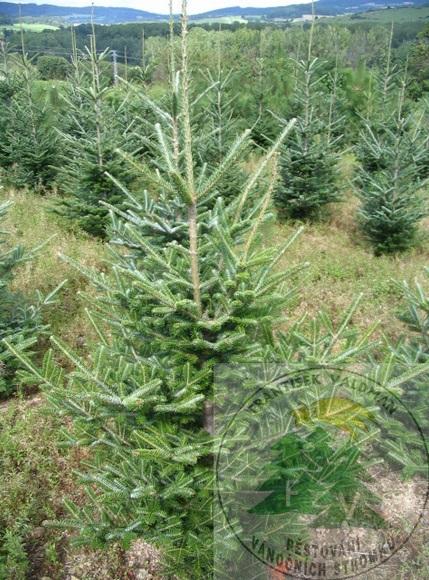 Stromky na Vánoce Sušice