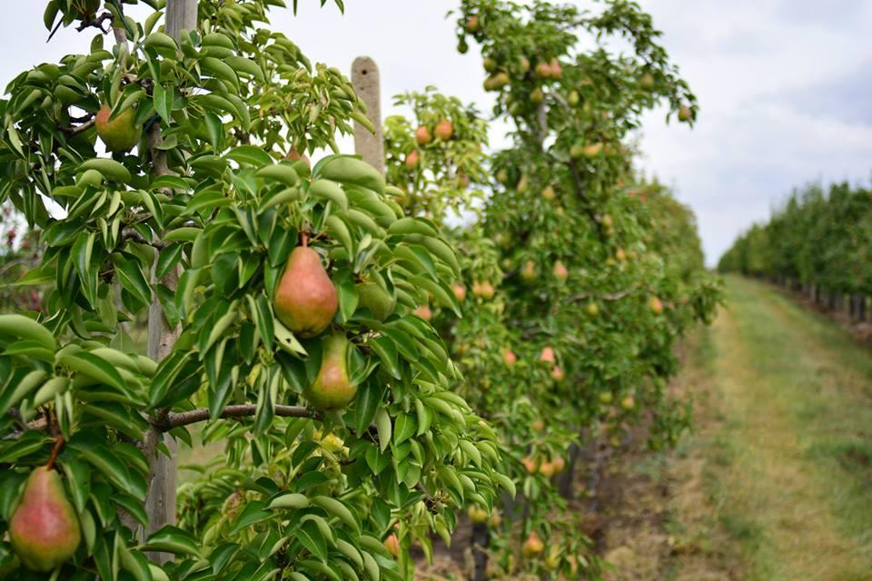Prodej čerstvého ovoce, hrušky | Třebíč, Vysočina