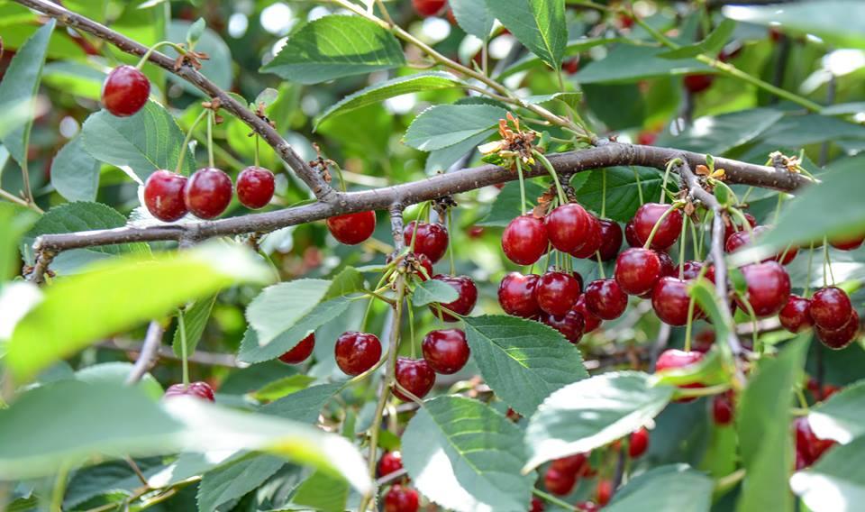 Ovoce na pálení, třešně, višně, švestky | jižní Morava, Vysočina