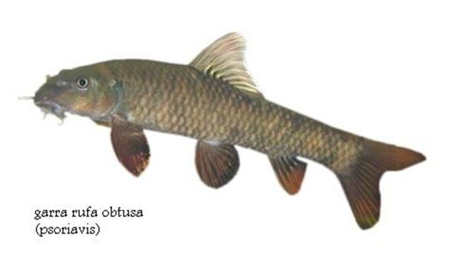 Rybičky Garra, rybí pedikúra, procedura rybkami, péče o nohy