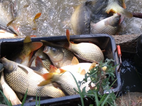 Celoroční prodej živých ryb-kapři, pstruzi, štiky