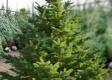 Vánoční stromky-prodej vánočních stromků v zahradnictví Jalubí
