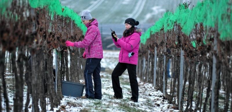 Ledové víno Velké Pavlovice