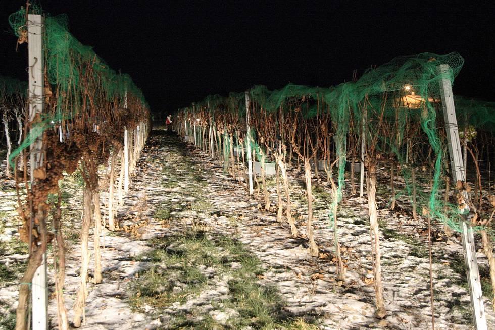 sklizeň ledového vína 2014