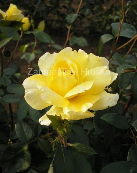 Nabízíme pnoucí i velkokvěté keřové růže nádherných barev