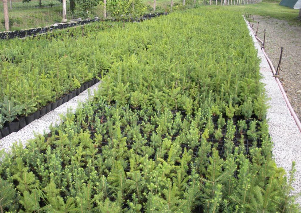 Lesní sazenice - prodej Vsetín, Valašské Meziříčí