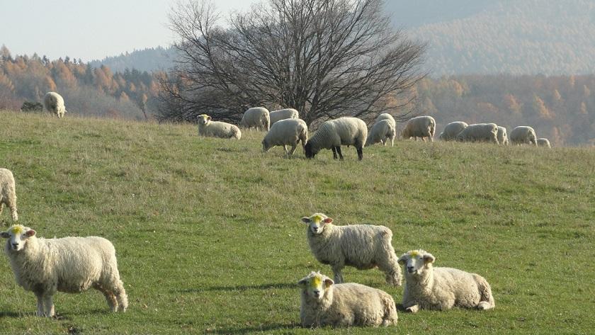 Chov ovcí - Lípa u Zlína