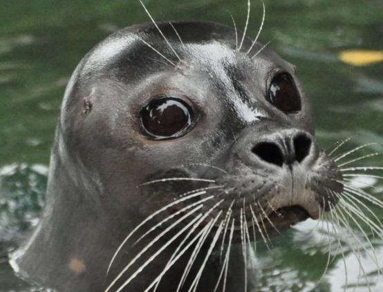 V zoologické zahradě v Ústí nad Labem najdete i lachtany