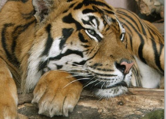 Tygr v zoologické zahradě