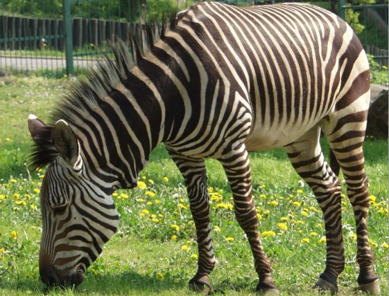 Zebry, žirafy, tygry a spoustu dalších zvířat najdete v zoologické zahradě