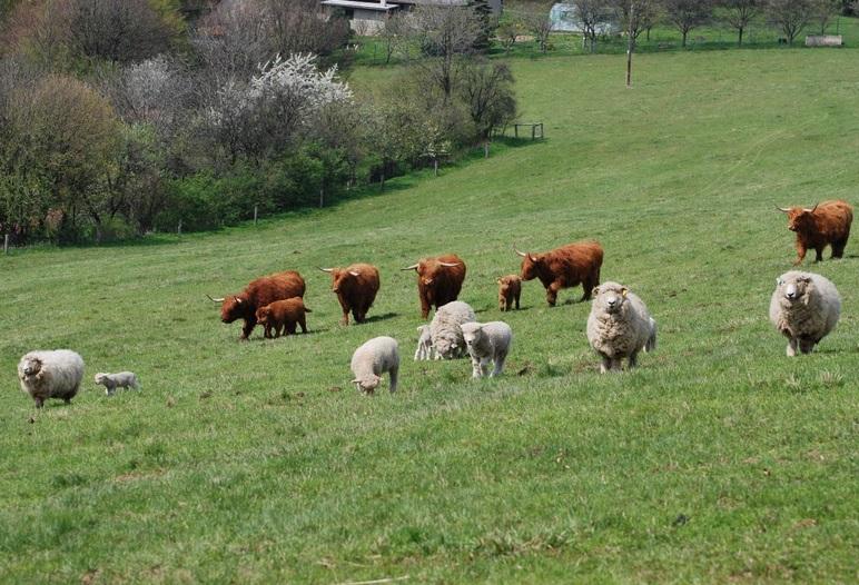 Ekofarma, ekologické zemědělství-jehněčí, skopové, hovězí maso pro restaurace, jídelny