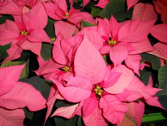 vánoční hvězdy v prosinci nesmí chybět