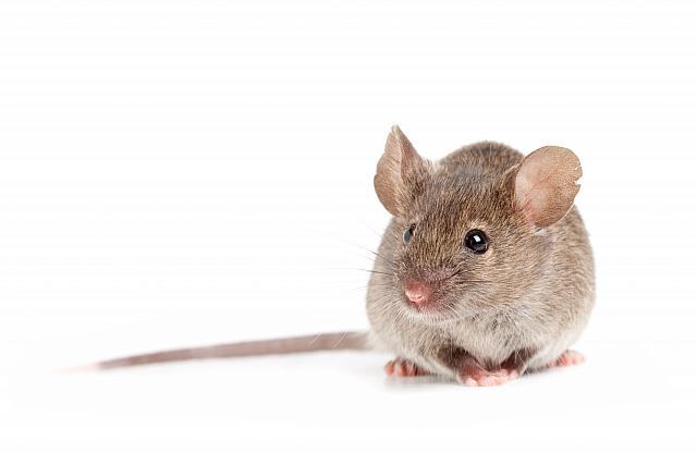 Hubení hlodavců Chomutov – účinná likvidace myší a potkanů pomocí nástrah