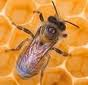 Včelařství Praha – návrat včel do pražských lesů a hájů
