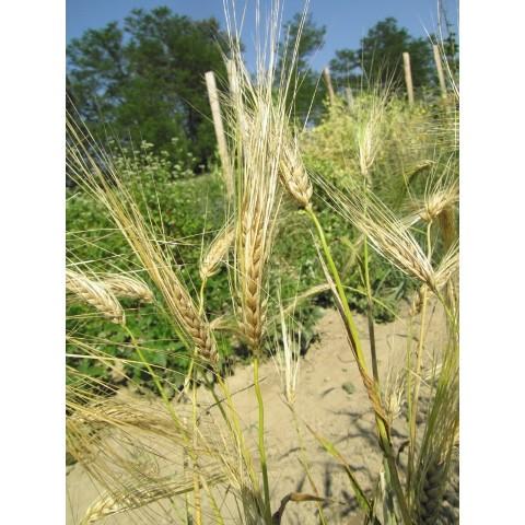 Šrotování, výmlat obilovin, sklizeň senáží a kukuřičné siláže Opava
