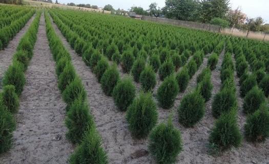 Prodej živých listnatých i jehličnatých plotů, zahradnictví, okrasné dřeviny, keře