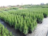 Zahradnictví, prodej dřevina na živé ploty Pardubice, Srch