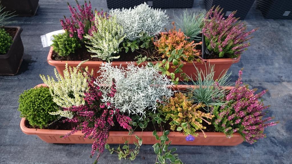 Podzimní akce na vřesy, chryzantémy, macešky-prodej v Garden Market