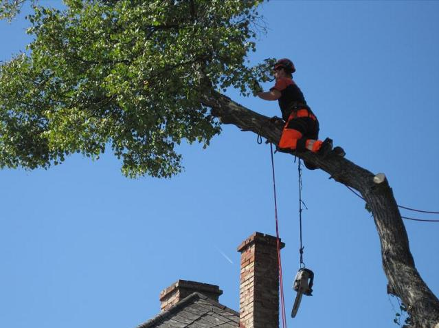 Kácení stromů ve výškách se stromolezeckým vybavením, frézování pařezů