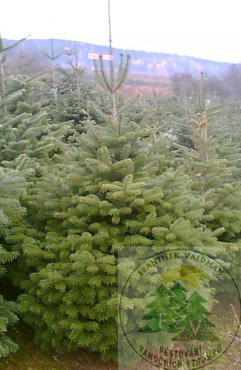 Prodej vánočních stromků - jedle