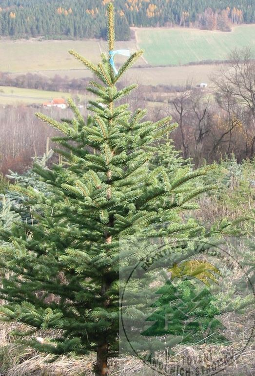 Prodej vánočních stromků - smrk