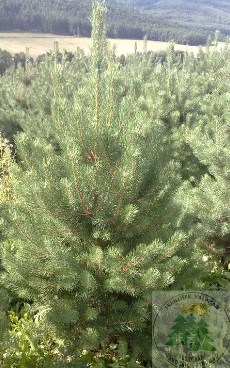 Vánoční stromky pro velkoodběratele