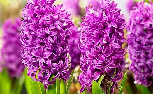 Prodej hyacintů Opava